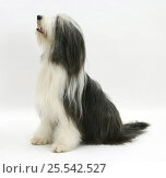 Купить «Bearded Collie bitch, Ellie, sitting.», фото № 25542527, снято 17 октября 2019 г. (c) Nature Picture Library / Фотобанк Лори