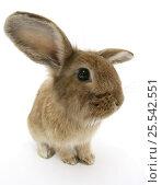 Купить «Sandy Lionhead-cross rabbit.», фото № 25542551, снято 20 октября 2019 г. (c) Nature Picture Library / Фотобанк Лори