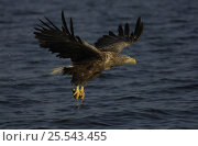 Купить «White tailed sea eagle {Haliaeetus albicilla} flying up from water with fish in claws, Flatanger, Nord-Trondelag, Norway, August», фото № 25543455, снято 17 декабря 2018 г. (c) Nature Picture Library / Фотобанк Лори