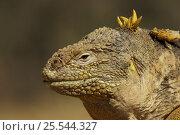 Купить «Galapagos land iguana (Conolophus subcristatus) Cerro Dragon, Santa Cruz Island, Galapagos Islands.», фото № 25544327, снято 27 мая 2019 г. (c) Nature Picture Library / Фотобанк Лори
