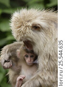 Купить «Japanese macaque / Snow monkey {Macaca fuscata} female suckling two-week-old baby, Jigokudani, Nagano, Japan», фото № 25544635, снято 22 марта 2019 г. (c) Nature Picture Library / Фотобанк Лори
