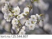 Купить «Cherry blossom {Prunus Cerasus lannesiana `Sirayuki'} Tokyo, Japan», фото № 25544807, снято 24 сентября 2018 г. (c) Nature Picture Library / Фотобанк Лори