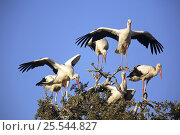 Купить «White storks {Ciconia ciconia} with wings outstretched, perching in tree top, Donana NP, Sevilla, Spain», фото № 25544827, снято 20 августа 2018 г. (c) Nature Picture Library / Фотобанк Лори