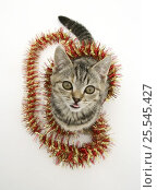 Купить «Tabby kitten with christmas tinsel.», фото № 25545427, снято 15 ноября 2019 г. (c) Nature Picture Library / Фотобанк Лори