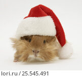 Купить «Guinea-pig wearing a Father Christmas hat.», фото № 25545491, снято 18 октября 2019 г. (c) Nature Picture Library / Фотобанк Лори