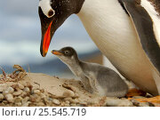 Купить «Gentoo Penguin {Pygoscelis papua} with chick, which is only a few days old and the egg tooth on tip of beak is still present. Falkland Islands.», фото № 25545719, снято 18 сентября 2019 г. (c) Nature Picture Library / Фотобанк Лори