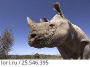 Desert black rhinoceros (Diceros bicornis bicornis) Addo Elephant National Park; Eastern Cape; South Africa, Critically endangered species. Стоковое фото, фотограф Mark Carwardine / Nature Picture Library / Фотобанк Лори