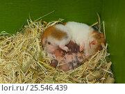 Купить «Syrian / Golden Hamster {Mesocricetus auratus} suckling 7 day old babies, Japan», фото № 25546439, снято 17 января 2019 г. (c) Nature Picture Library / Фотобанк Лори