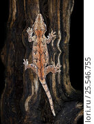 Купить «New caledonia bumpy gecko / Gargoyle gecko {Rhacodactylus auriculatus} on tree trunk, New Caledonia», фото № 25546755, снято 22 ноября 2017 г. (c) Nature Picture Library / Фотобанк Лори