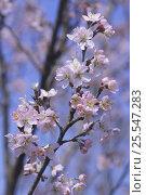 Купить «Wild cherry blossom {Prunus Cerasus × takenakae} Ibaraki, Japan», фото № 25547283, снято 24 сентября 2018 г. (c) Nature Picture Library / Фотобанк Лори