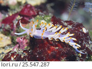 Купить «Nudibranch {Flabellina bicolor} Okayama, Japan», фото № 25547287, снято 20 августа 2018 г. (c) Nature Picture Library / Фотобанк Лори