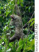 Купить «Three toed / Brown throated sloth {Bradypus variegatus} Manuel Antonio NP, Costa Rica.», фото № 25547543, снято 21 марта 2018 г. (c) Nature Picture Library / Фотобанк Лори