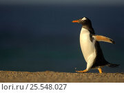 Gentoo Penguin {Pygoscelis papua} walking profile, Falkland Islands. Стоковое фото, фотограф Solvin Zankl / Nature Picture Library / Фотобанк Лори
