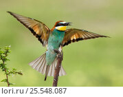 Купить «European bee-eater {Merops apiaster} stretching wings with insect prey in beak, Etosha NP, Namibia», фото № 25548087, снято 14 августа 2018 г. (c) Nature Picture Library / Фотобанк Лори