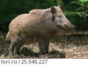 Купить «Wild boar {Sus scrofa} profile, captive, Bavarian Forest, Germany.», фото № 25548227, снято 14 декабря 2018 г. (c) Nature Picture Library / Фотобанк Лори