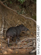 Brazilian tapir (Tapirus terrestris) beside Rewa River, Iwokrama Reserve, Guyana, Vulnerable species. Стоковое фото, фотограф Pete Oxford / Nature Picture Library / Фотобанк Лори