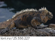 Купить «Marine Iguana (Amblyrhynchus cristatus) Santiago / James Island, Galapagos Islands, South America», фото № 25550227, снято 23 мая 2019 г. (c) Nature Picture Library / Фотобанк Лори
