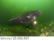 Купить «Greenland sleeper shark (Somniosus microcephalus) and underwater photographer, St. Lawrence River estuary, Canada NB: this shark was wild and unrestrained Model released  373», фото № 25550507, снято 9 ноября 2018 г. (c) Nature Picture Library / Фотобанк Лори
