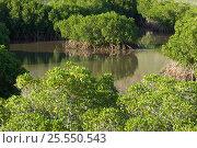 Купить «Mangrove forest, Balandra Bay, Baja California, Mexico, September 2007», фото № 25550543, снято 25 мая 2020 г. (c) Nature Picture Library / Фотобанк Лори