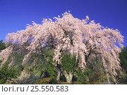 Купить «Weeping Japanese Cherry {Prunus (Cerasus) spachiana 'Spachiana'} Kochi, Japan», фото № 25550583, снято 24 сентября 2018 г. (c) Nature Picture Library / Фотобанк Лори