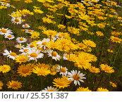 Желтые и белые ромашки. Стоковое фото, фотограф Алексей Ионов / Фотобанк Лори