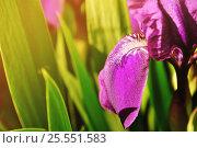 Купить «Purple iris flower under bright sunset light», фото № 25551583, снято 18 сентября 2018 г. (c) Зезелина Марина / Фотобанк Лори