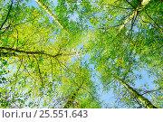 Купить «Лесной пейзаж - ветви берез на фоне голубого неба», фото № 25551643, снято 26 сентября 2018 г. (c) Зезелина Марина / Фотобанк Лори