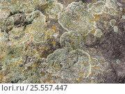 Купить «Зелёный сухой лишайник выживает на камне», фото № 25557447, снято 14 августа 2016 г. (c) Евгений Рашевский / Фотобанк Лори