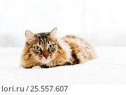 Grey cat lying on bed. Стоковое фото, фотограф Валерия Лузина / Фотобанк Лори