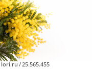 Купить «Fresh mimosa flower on white», фото № 25565455, снято 15 февраля 2017 г. (c) Юлия Младич / Фотобанк Лори