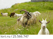 Farm animals goats in the green grass and flowers. Стоковое фото, фотограф Светлана Булычева / Фотобанк Лори