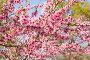 Цветущий персик, фото № 25568843, снято 5 апреля 2016 г. (c) ИВА Афонская / Фотобанк Лори