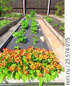 Купить «Комбинированные грядки с посадками цветов и земляники на дачном участке весной», эксклюзивное фото № 25574075, снято 22 мая 2015 г. (c) lana1501 / Фотобанк Лори