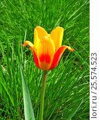 Купить «Желто-красный тюльпан (лат. Tulipa) на фоне зеленой травы», эксклюзивное фото № 25574523, снято 14 мая 2015 г. (c) lana1501 / Фотобанк Лори