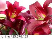Лилии (Lilies) Стоковое фото, фотограф Владимир Борисов / Фотобанк Лори