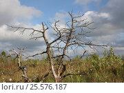 Мертвое дерево на болоте. Стоковое фото, фотограф Геннадий Окатов / Фотобанк Лори