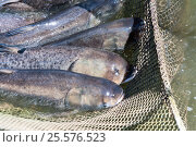 Купить «A few carp in a fishing net. Fish farms.», фото № 25576523, снято 23 июня 2016 г. (c) Андрей Радченко / Фотобанк Лори