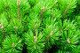 Горная карликовая сосна, стланиковая форма - вид веток крупным планом, фото № 25580399, снято 13 августа 2016 г. (c) Зезелина Марина / Фотобанк Лори