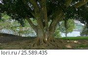 Купить «Big tree roots in Khao Sok National Park, Thailand», видеоролик № 25589435, снято 4 февраля 2017 г. (c) Михаил Коханчиков / Фотобанк Лори