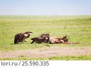 Купить «Vultures flock eating the carcass of a wildebeest», фото № 25590335, снято 19 августа 2015 г. (c) Сергей Новиков / Фотобанк Лори