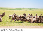 Big flock of white-backed vultures at savannah. Стоковое фото, фотограф Сергей Новиков / Фотобанк Лори