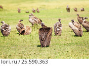 Купить «White-backed vulture herd having rest on grassland», фото № 25590363, снято 19 августа 2015 г. (c) Сергей Новиков / Фотобанк Лори