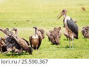Купить «Herd of white-backed vultures and marabou stork», фото № 25590367, снято 19 августа 2015 г. (c) Сергей Новиков / Фотобанк Лори
