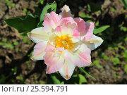 Нежно-розовый тюльпан, вид сверху. Стоковое фото, фотограф Юлия Болоцкая / Фотобанк Лори