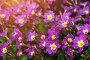 Примула Юлии (Primula juliae) - вид крупным планом, фото № 25600019, снято 5 мая 2016 г. (c) Зезелина Марина / Фотобанк Лори