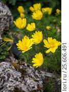 Купить «Горицвет весенний Adonis vernalis», фото № 25606491, снято 11 мая 2015 г. (c) Юлия Бабкина / Фотобанк Лори