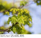 Молодые листья и цветы клена на фоне неба, фото № 25606495, снято 11 мая 2015 г. (c) Юлия Бабкина / Фотобанк Лори