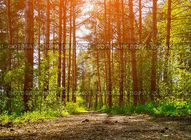 Купить «Forest spring landscape - row of pine trees and narrow path», фото № 25609051, снято 5 мая 2016 г. (c) Зезелина Марина / Фотобанк Лори