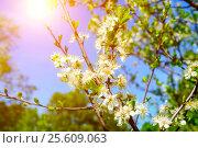 Купить «Spring landscape with branch of spring apple blossoming tree  under sunlight», фото № 25609063, снято 21 июля 2018 г. (c) Зезелина Марина / Фотобанк Лори