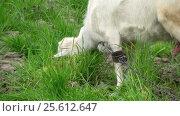 Купить «Goat on green meadow», видеоролик № 25612647, снято 3 февраля 2012 г. (c) Андрей Зык / Фотобанк Лори